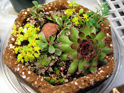 'Tufa pot with sedums and semperviviums